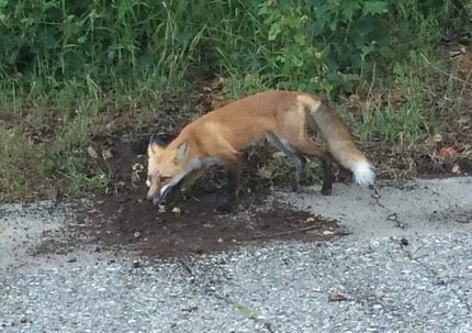 Mason Pointe pet fox